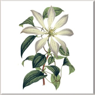 Cream and Lilac Clematis Flower Ceramic Wall Tile