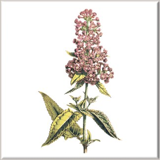 Pink Ceanothus Flower Ceramic Wall Tile