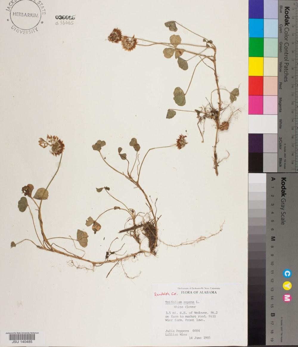 medium resolution of 0004 jsu trifolium repens linnaeus