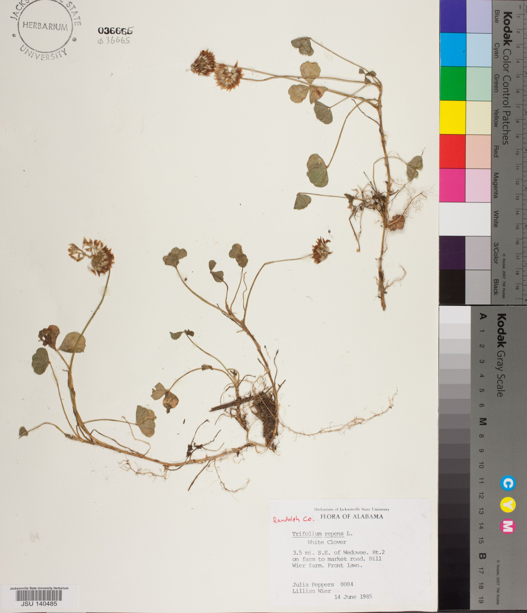 hight resolution of 0004 jsu trifolium repens linnaeus