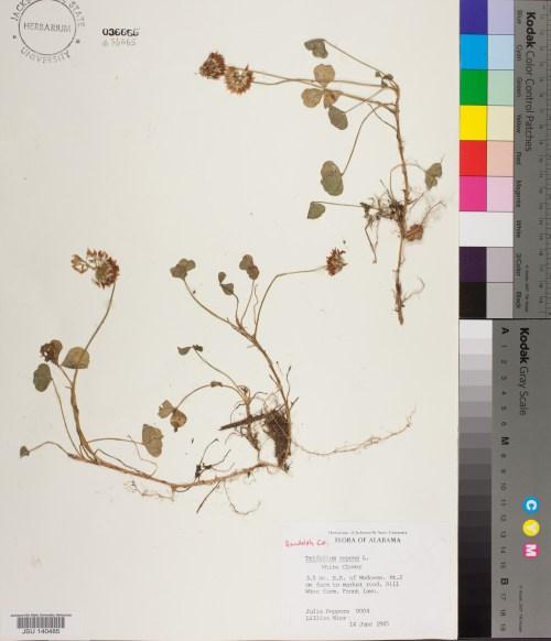 small resolution of 0004 jsu trifolium repens linnaeus
