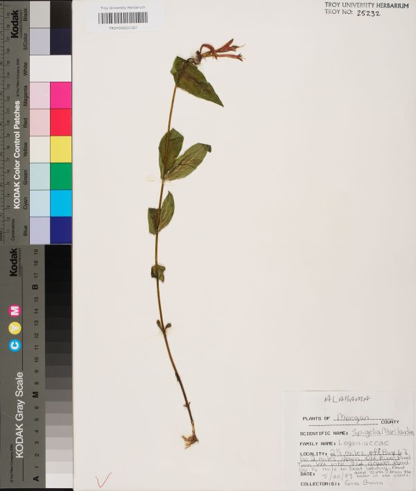 Spigelia Marilandica - Species Page Apa Alabama Plant Atlas