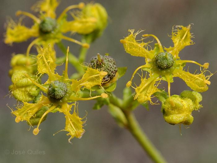 https://i0.wp.com/www.florasilvestre.es/mediterranea/Rutaceae/Ruta_angustifolia.jpg