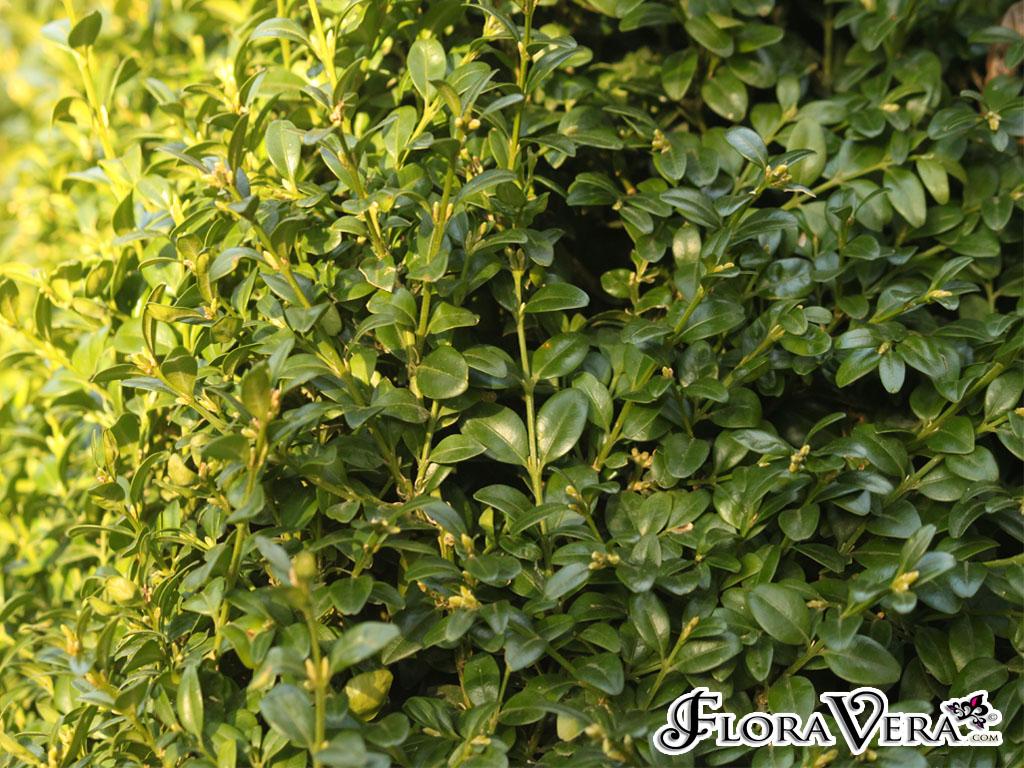 Buxus sempervirens  Floravera