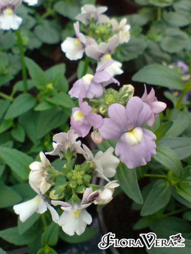 Nemesia caerulea  Floravera