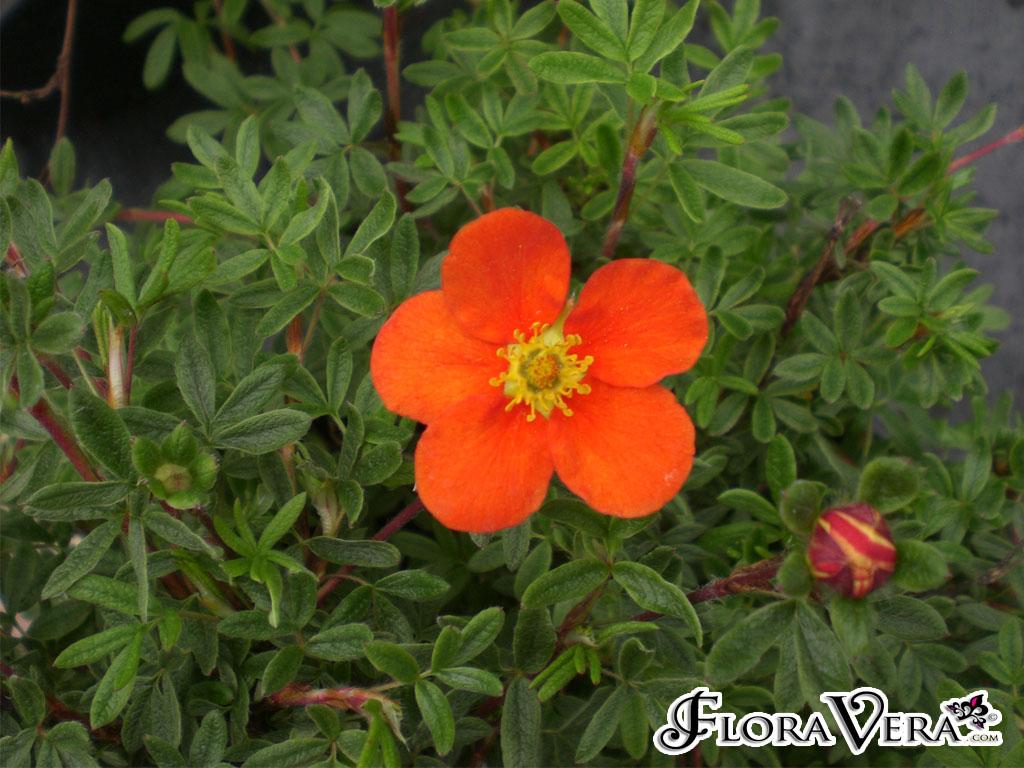 Potentilla fruticosa  Floravera