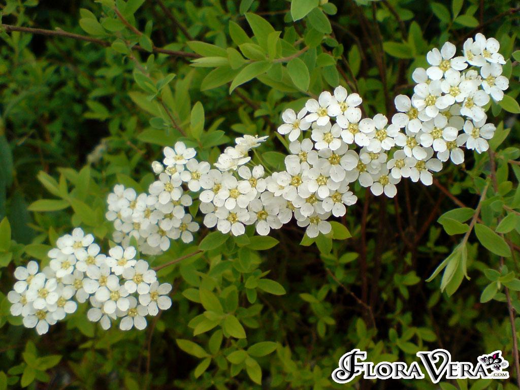 Spiraea Arguta Floravera