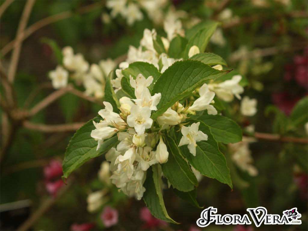 Weigela Florida Floravera