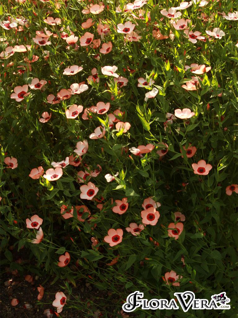 Linum grandiflorum  Floravera