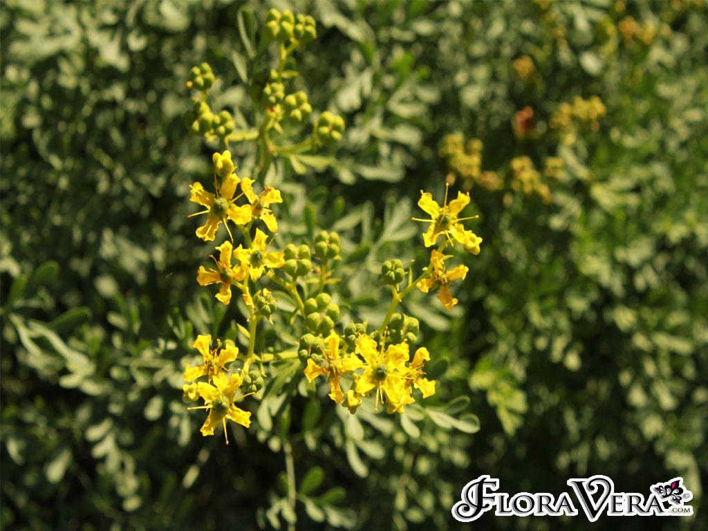 Ruta Graveolens Floravera