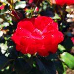 Roze Planten un Blomen
