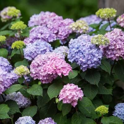 """Hydrangea """"Bloomstar"""""""