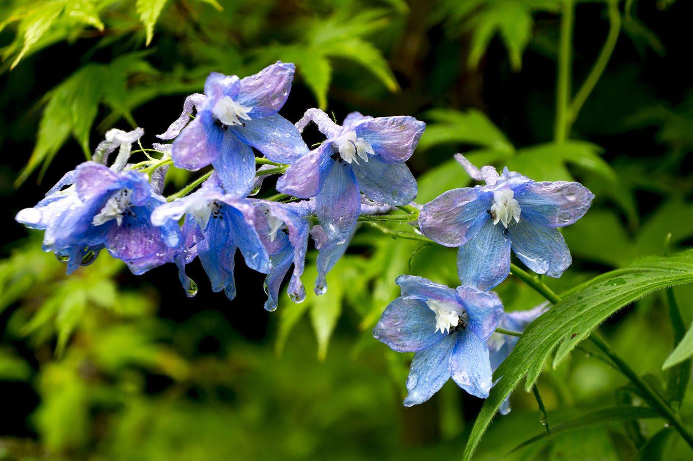 Flores azules Campanulas  Imgenes y fotos