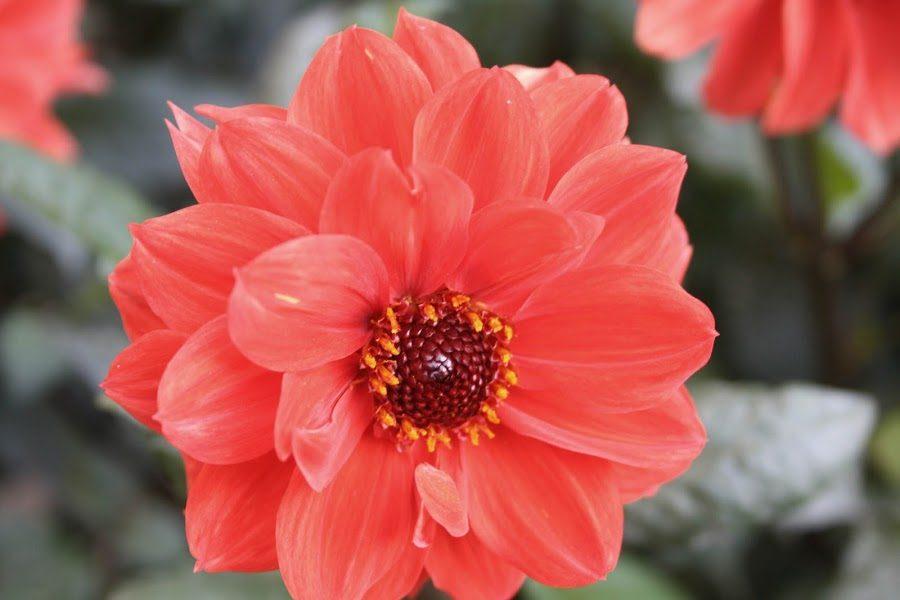 Flores hermosas dalias  Imgenes y fotos