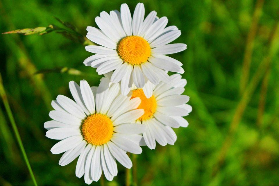 Tipos de flores margaritas  Imgenes y fotos