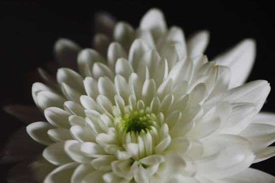 Flor de Crisantemo blanco  Revista de Flores Plantas