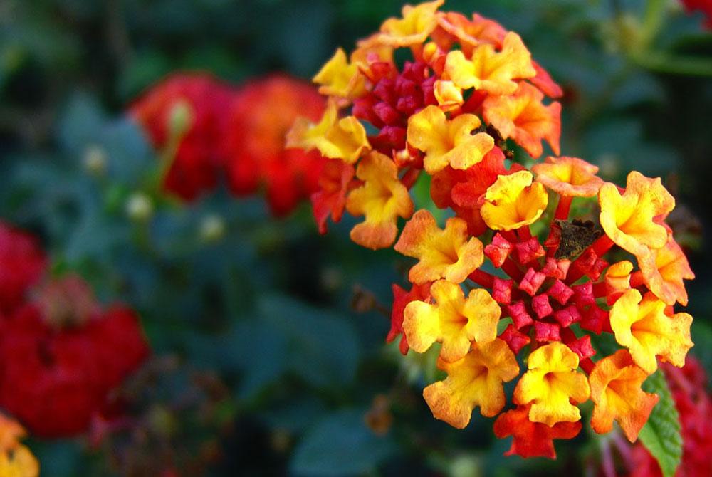 Lantana camara  Revista de Flores Plantas Jardinera