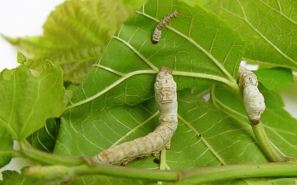 La Morera y los gusanos de seda Floresyplantasnet