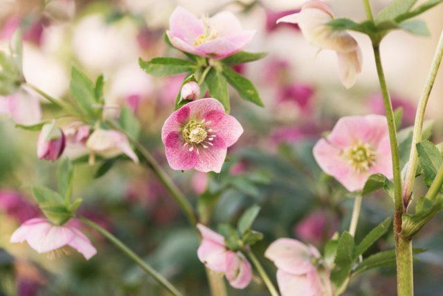 Hellebores at floret flower farm