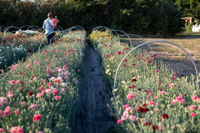 Carnation trial garden at Floret
