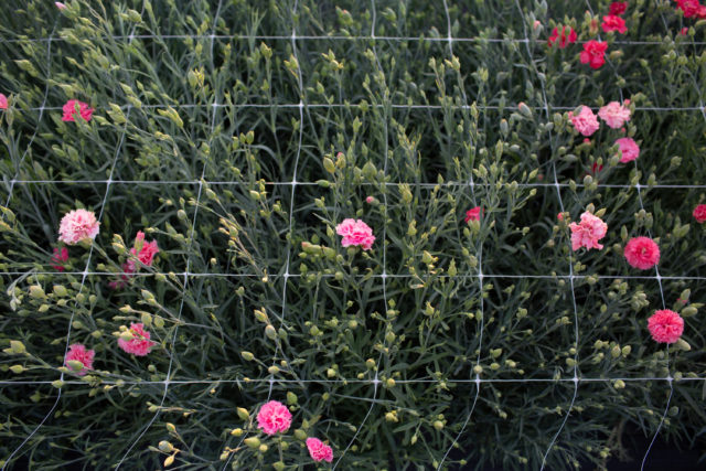 Farm trial of carnations at Floret