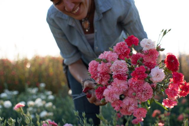 Armload of carnations harvested at Floret