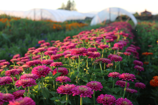 field of zinnias