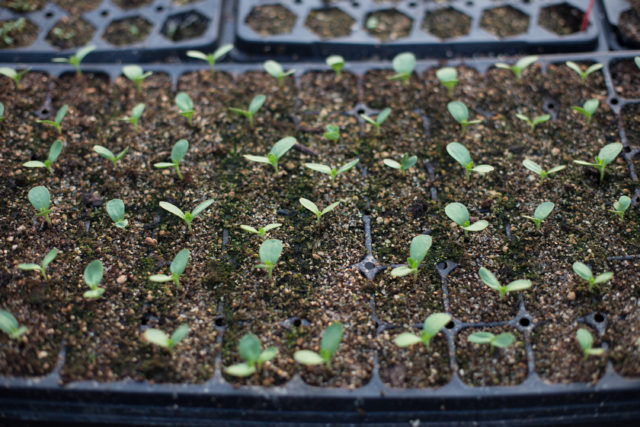 zinnias germinating in cell trays