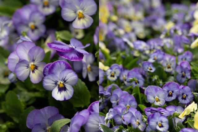 Violas and pansies as cut flowers from Floret