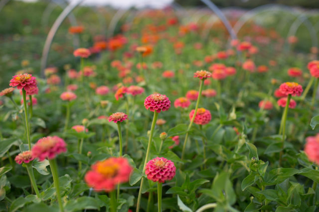 zinnias in flower field