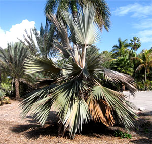 Cold Damaged Palm Tree