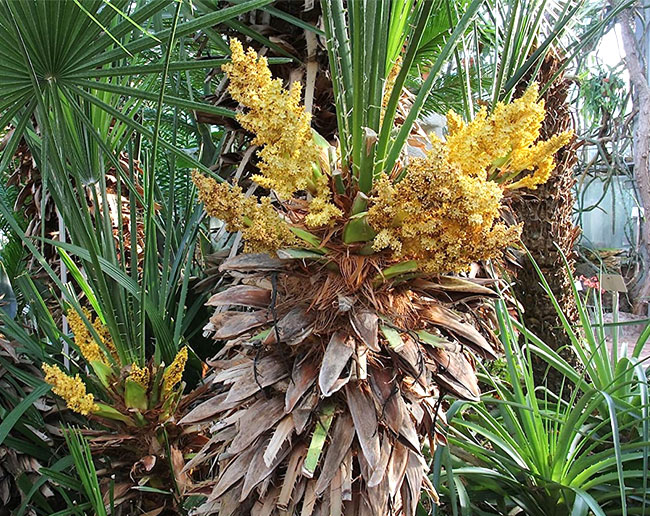 European Fan Palm Tree (Chamaerops humilis) flowers