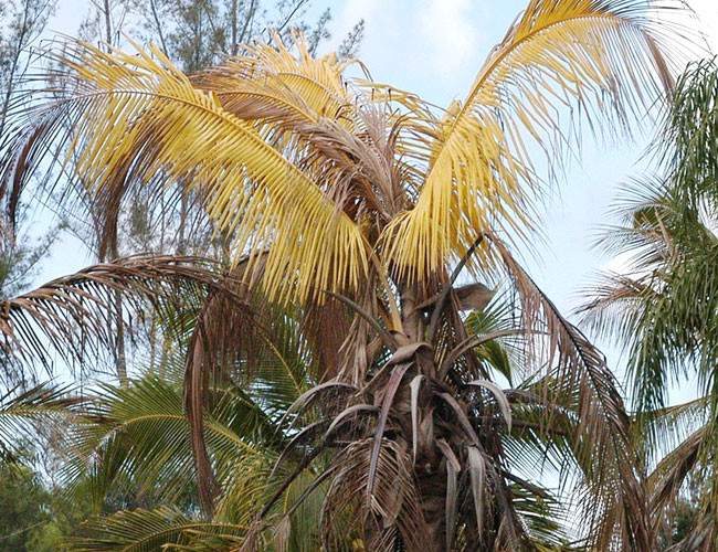 Picture of a sick palm tree.