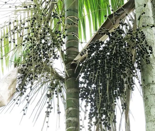 Fruits of Acai Palm Tree (Euterpe oleracea)