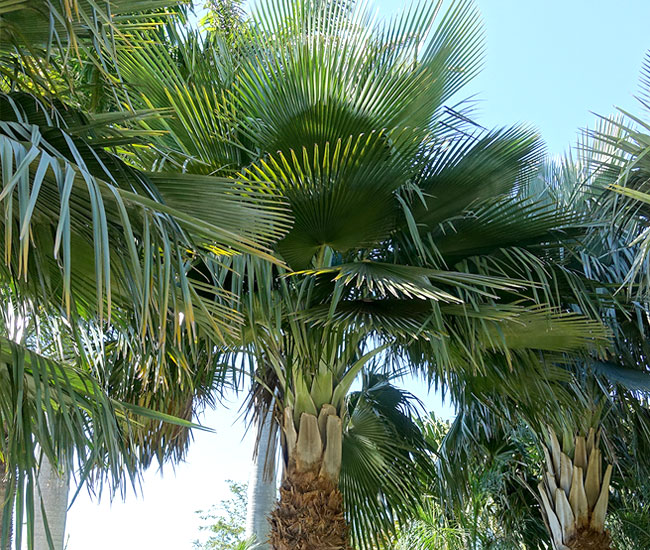 Fronds of Bailey Copernicia Palm Tree (Copernicia baileyana)