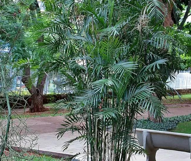 Bamboo Palm Tree (Chamaedorea seifrizii)
