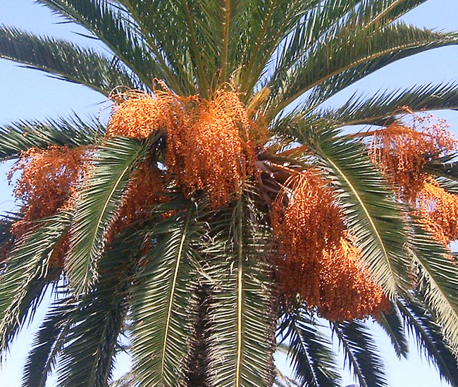 Canary Date Palm Tree (Phoenix canariensis) with fruits