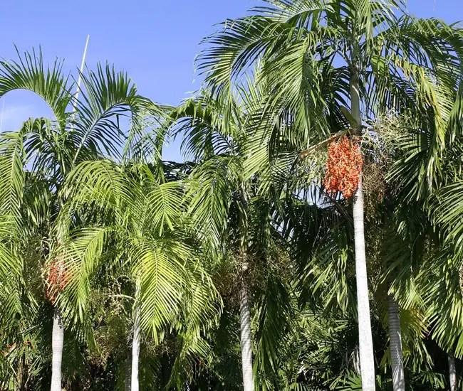Carpentaria Palm (Carpentaria acuminata).