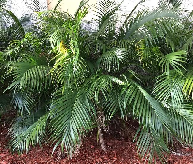 Cat Palm (Chamaedorea cataractarum).