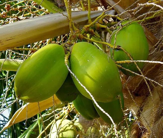 Coconut Palm Tree (Cocos nucifera) fruits