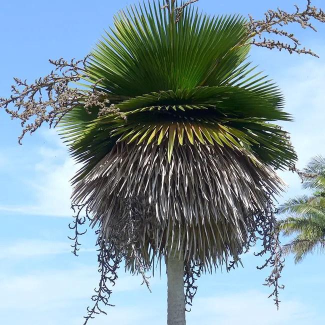 Cuban Petticoat Palm Tree (Copernicia macroglossa)