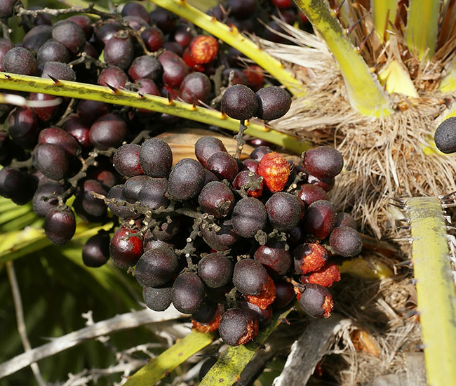 European Fan Palm Tree (Chamaerops humilis) fruits
