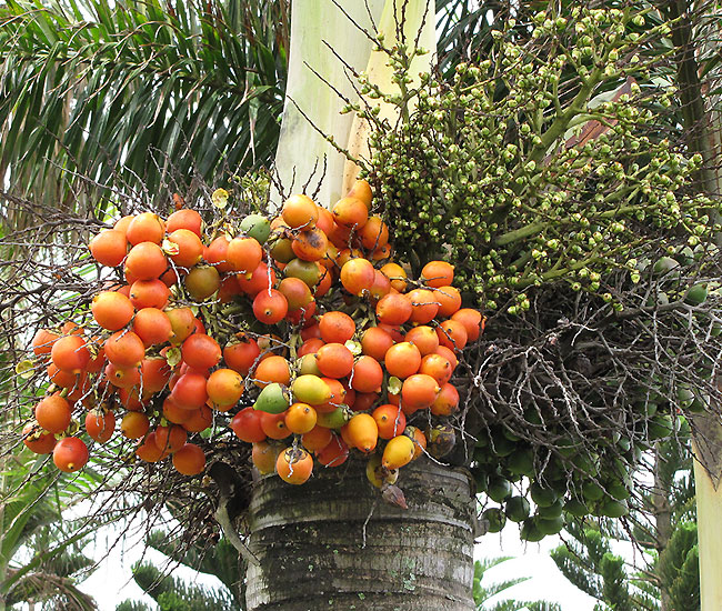 Foxtail Palm Tree (Wodyetia bifurcata) fruits