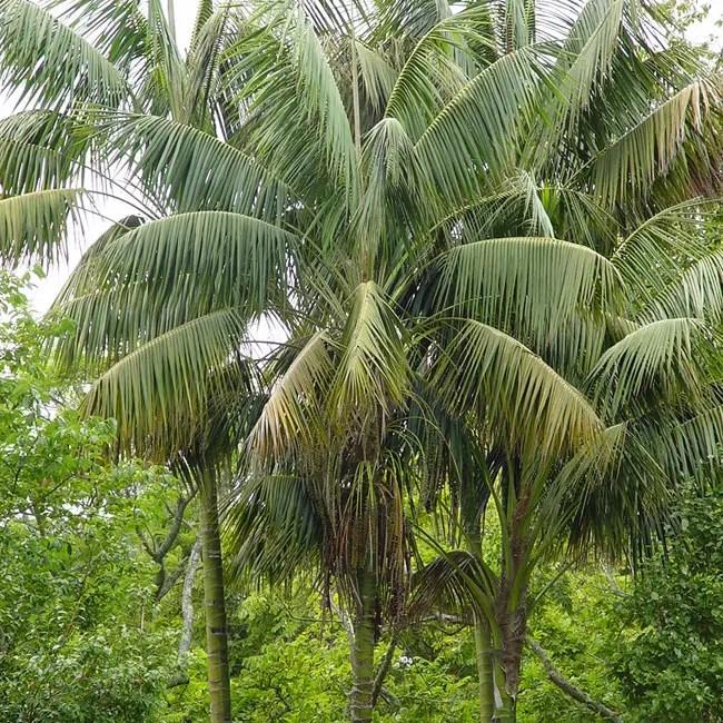Kentia Palm Tree (Howea forsteriana)