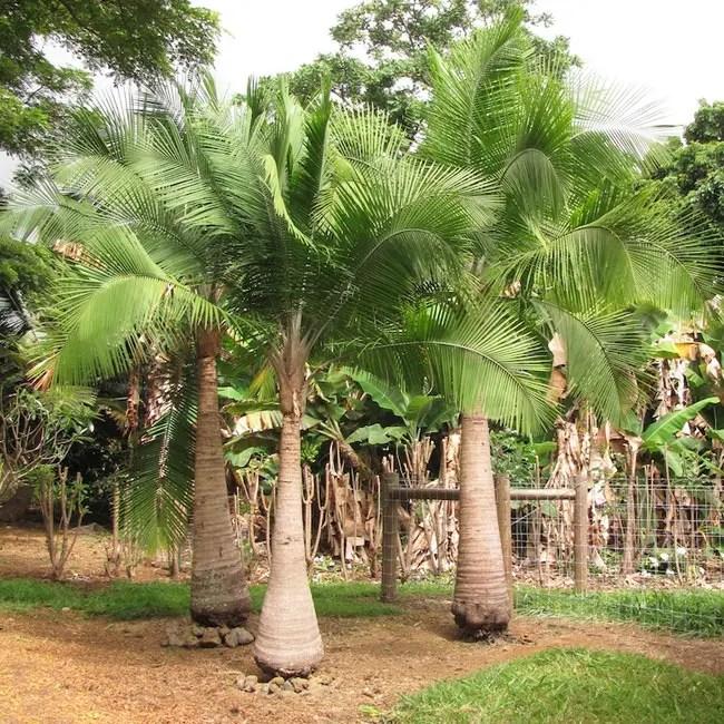 Group of Majesty Palm Trees (Ravenea rivularis)