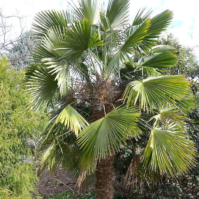 Miniature Chusan Palm Tree (Trachycarpus wagnerianus)