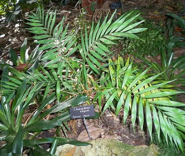 Parlor Palm Tree (Chamaedorea elegans)