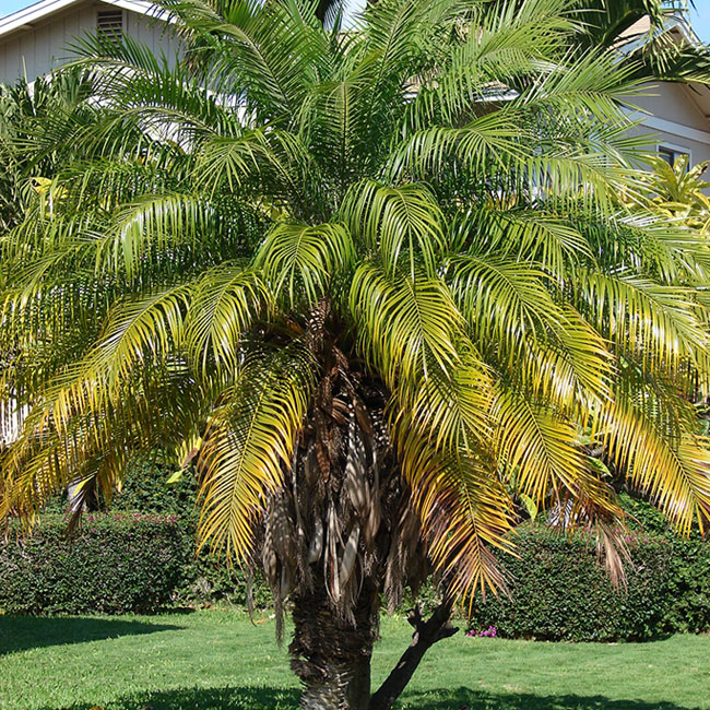 Pygmy Date Palm Tree (Phoenix roebelenii).