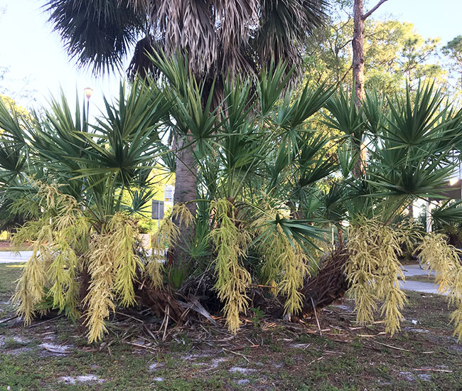 Saw Palmetto Palm Tree (Serenoa repens) with flowers