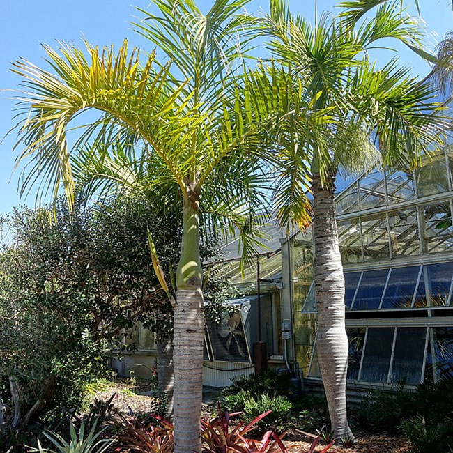 Spindle Palm Tree (Hyophorbe verschaffeltii).
